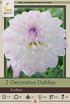 DAHLIA DECORATIVE EVELINE