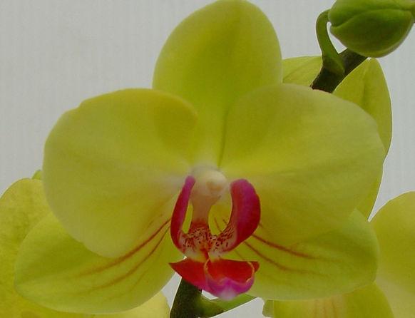 Orchid - Green & Dark Pink Vein