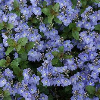 Veronica Waterperry Blue #1