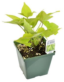 """Sweet Potato Vine 'Marguerita' 4.5"""" Pot"""