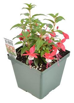 "Fuchsia 'Sunbeam Ernie' 4.5"" Pot"