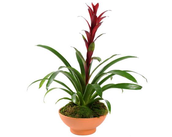 Bromeliad in Terra Cotta Bowl