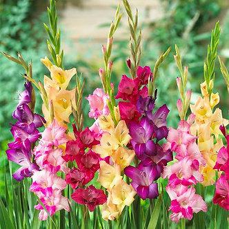 Gladiolus Mardi Gras Mix