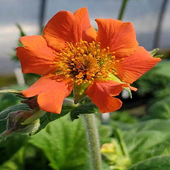 Geum Rustico Orange 4QT
