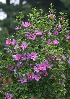 Rose of Sharon 'Floru' #3