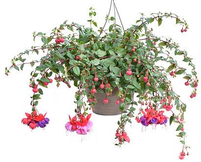 Fuchsia 'Dark Eyes' Hanging Basket