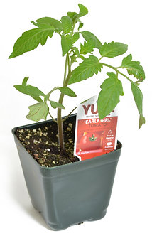 "Tomato 'Early Girl' 3.5"" Pot"