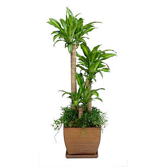 Corn Plant with Pot w/Ivy or with out Pot