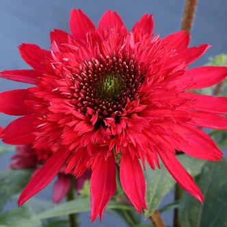 Echinacea Sunny Days Ruby 3QT