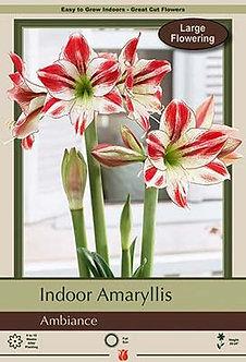 Amaryllis Ambiance