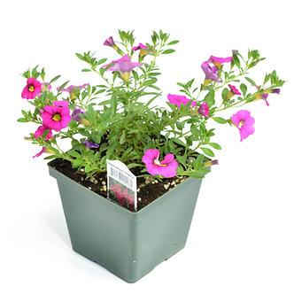 "Calibrachoa 'Minifamous Purple' 4.5"" Pot"