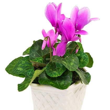 Cyclamen in White