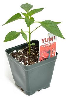 """Pepper 'Red Beauty' 3.5"""" Pot"""