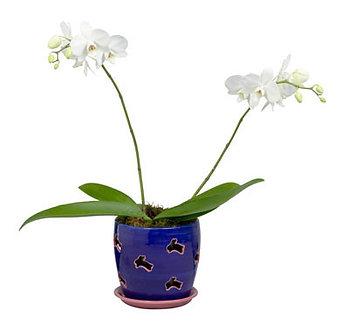 White Phaleonopsis- orchid w/ pot
