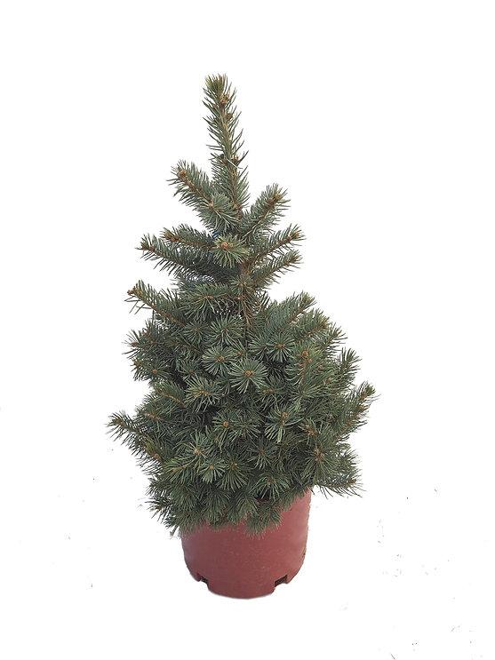 Blue Spruce Spruce #3