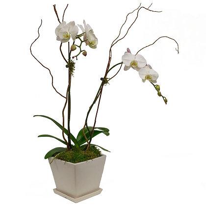 Phalaenopsis Splendor