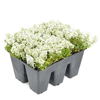 Alyssum 'Easter Bonnet White' Market Pack