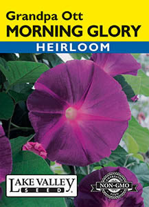MORNING GLORY GRANDPA OTT   HEIRLOOM