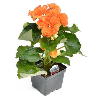 """Rieger Begonia Orange 4.5"""" Pot"""