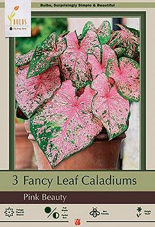 CALADIUM FANCY LEAF PINK BEAUTY (Bulbs)