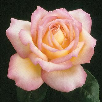 #3 Rose H.T. 'Pink Peace' #1 Grade