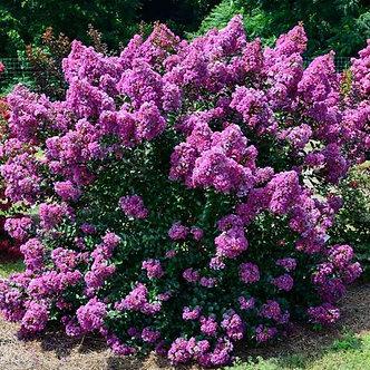 Lagerstroemia Purple Magic 3GA