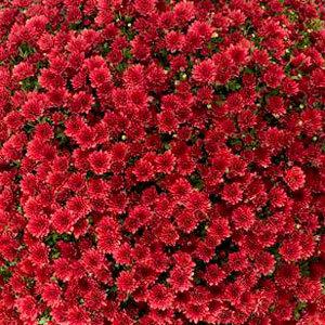Mum Jasoda Red - Large