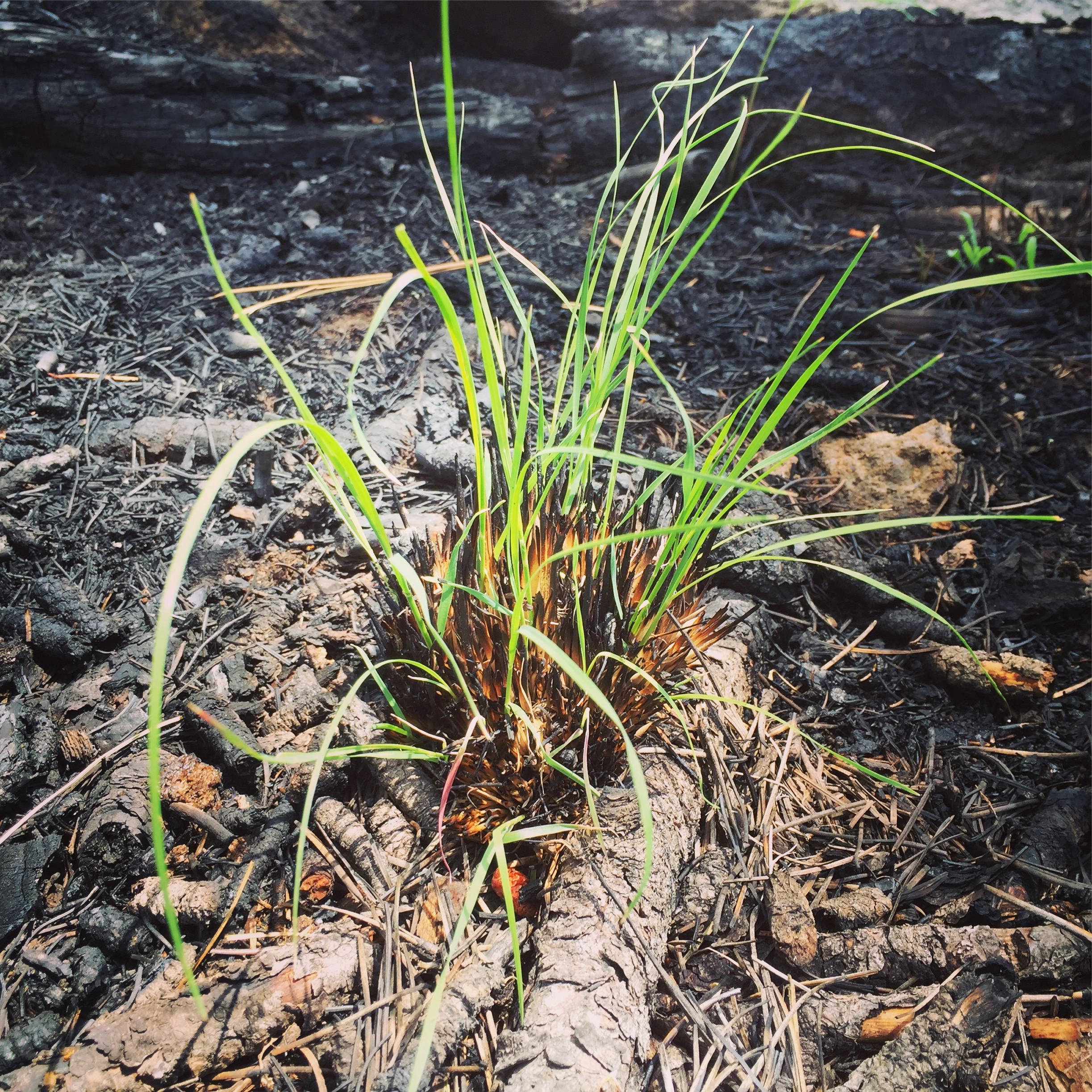 Grass sprouting after fire