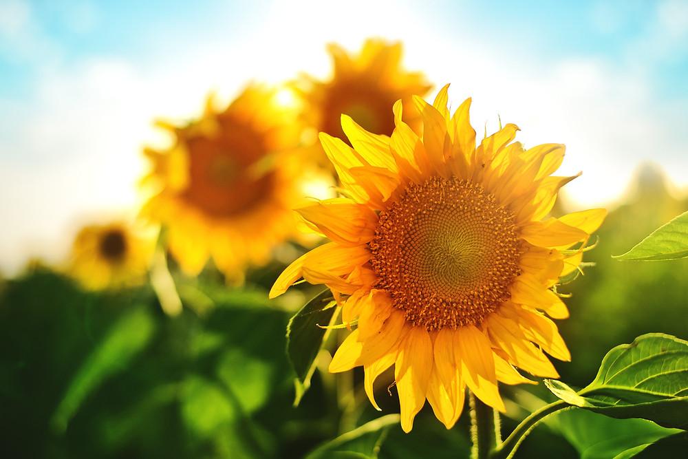 Lecithin aus der Sonnenblume
