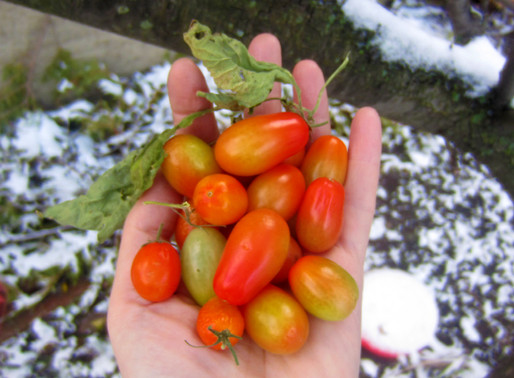 Tomatoes Picked this Morning!