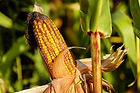 corn-on-the-cob-1690387_1920.jpg