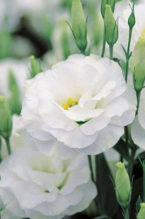 Lisianthus Double White