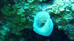 long-cay-belize-coral-1