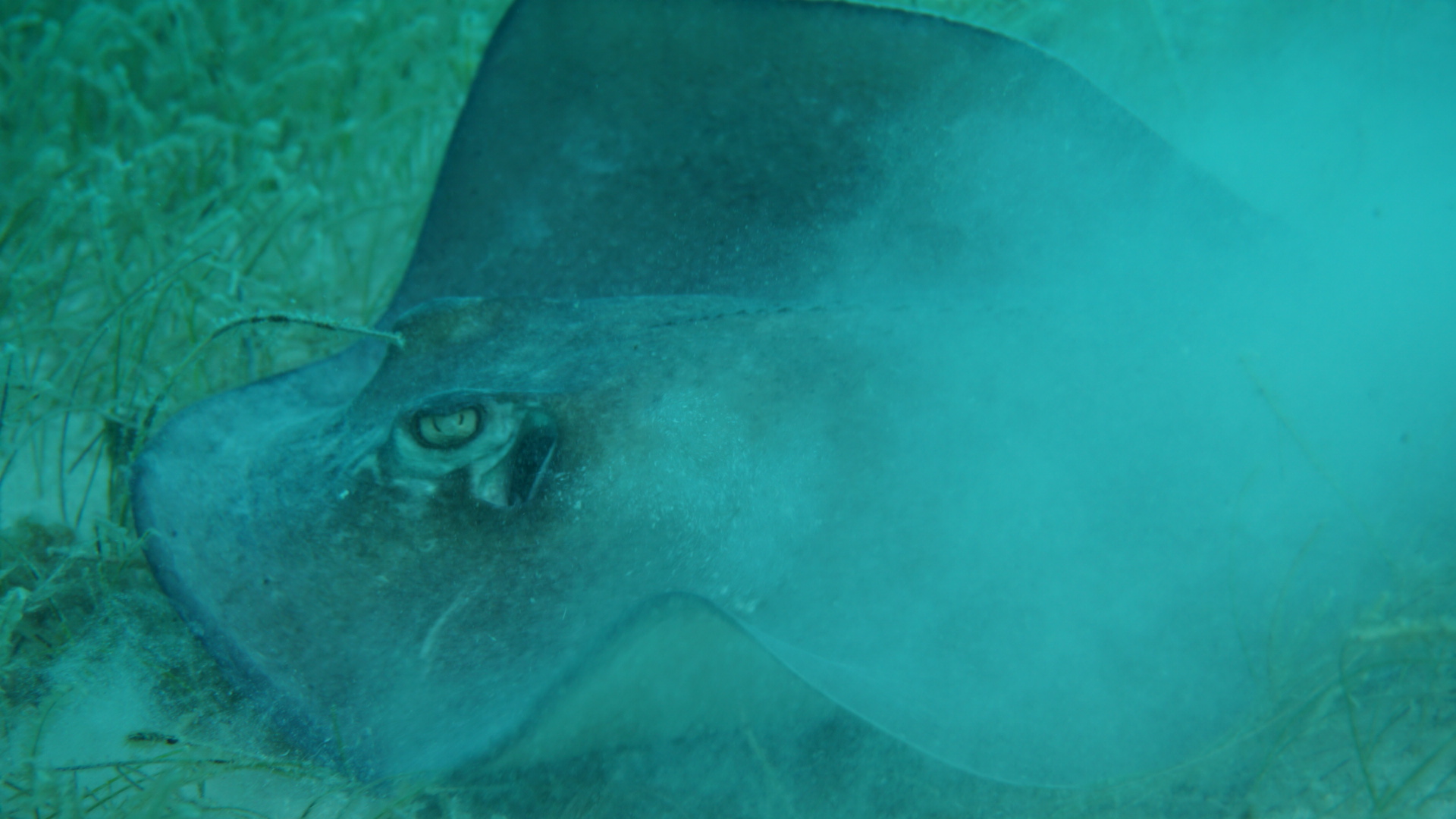 glovers-atoll-belize-stingray