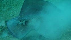 glovers-atoll-belize-stingray