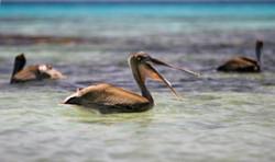 pelicans-300x178