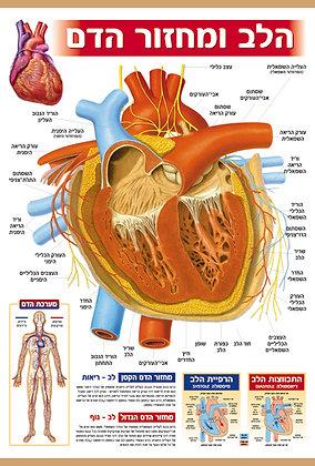 הלב ומחזור הדם - על בד