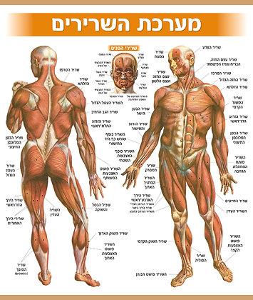 מערכת השרירים - על בד
