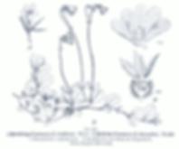 Linnaea_borealis_GS455.png