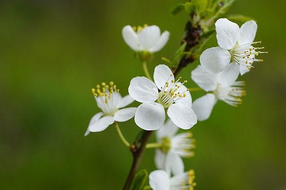 white-flowers-6191822_960_720.jpg