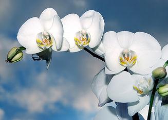 orchid-1378717_960_720.jpg