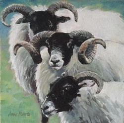 Black Faced Rams