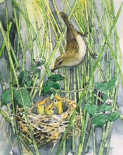 Sedge Warbler feeding chicks