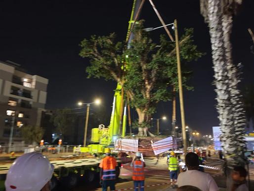 עצי הענק הועתקו