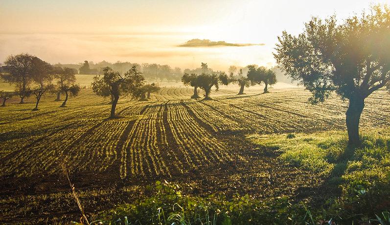 olive-grove-3453760.jpg