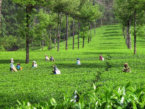 kerala-tea-field-1462503.jpg