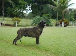 Cachorro Reprodutor 6 anos