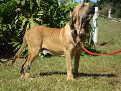 Cachorro Reprodutor 2 anos (CAFIB)