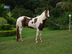 Cavalho Paint Horse
