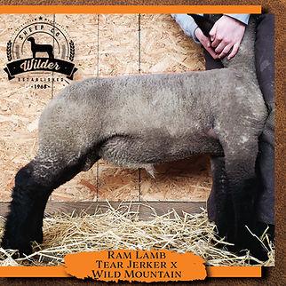2049 Ram Lamb.jpg